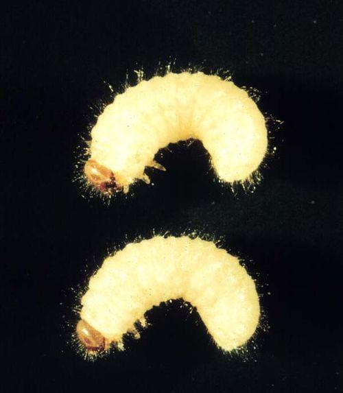 Cigarette Beetle | Lasioderma serricorne photo