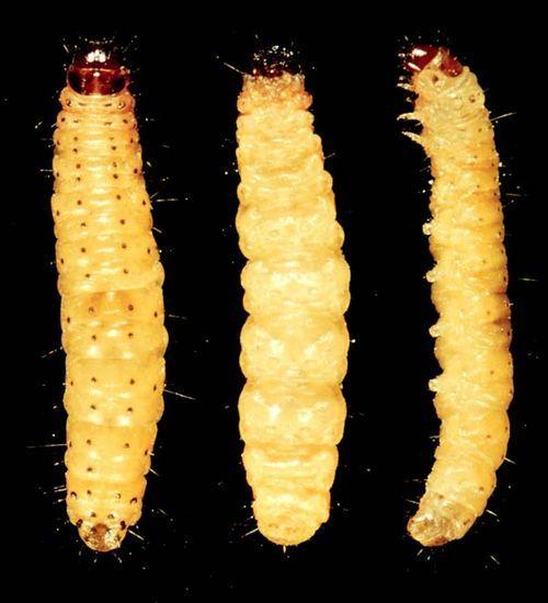 Tobacco Moth   Ephestia elutella photo