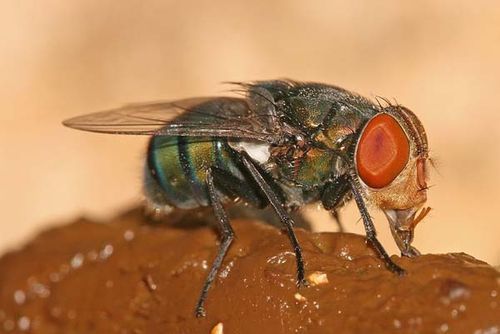 Oriental Latrine Fly | Chrysomya megacephala photo