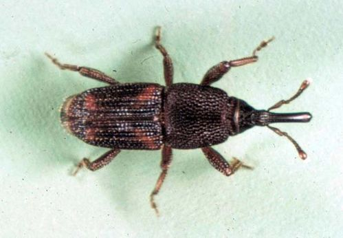 Rice Weevil | Sitophilus oryzae photo