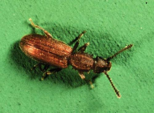 Sawtoothed Grain Beetle | Oryzaephilus surinamensis photo