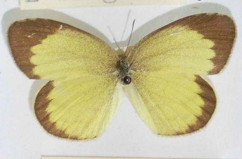 No-brand Grass-yellow | Eurema brigitta photo