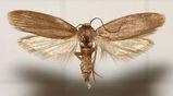 Lesser wax moth