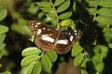 White-banded Plane Butterfly
