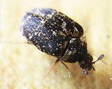 Museum Beetle