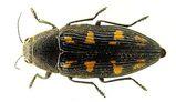 Painted Jewel Beetle