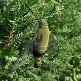 Coffee Hawk Moth