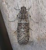 Almella Frass Moth