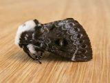 Crexa Moth