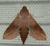 Coprosma Hawk Moth