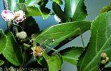 Gum Leaf Katydid