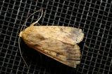Native Budworm, Heliothis punctigera