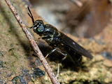 American Soldier Fly