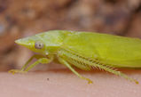 Flat-head Leafhopper