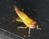 Leafhopper larvae