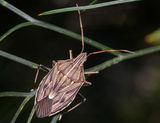 Gum Tree Shield Bug