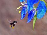 Sugar-bag Bee