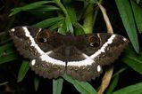 Erabus moth