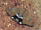 Castor Oil Semi-Looper moth