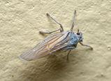 Delphacid planthopper
