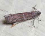 Sorghum Head Moth
