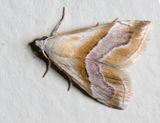 Eublemma moth