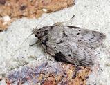 Oecophorine moth