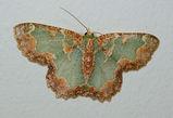 Bizarre Looper Moth