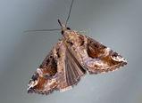 Hypena moth