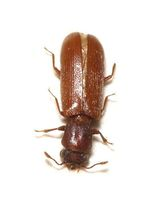 Powderpost beetle
