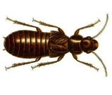 Giant Northern Termite