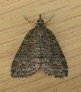 Dark Grey Carpet Moth