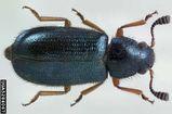 Red-legged Ham Beetle