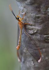 Blue Eyes Lacewing