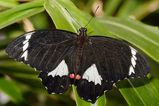 Orchard Swallowtail
