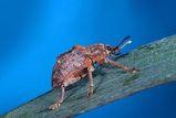 Melaleuca Snout Beetle