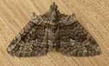 Apple Looper Moth