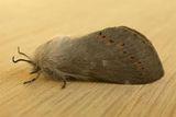Pinara Moth