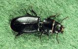 Cadelle Beetle