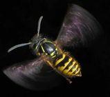 English Wasp
