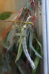 Children's Stick Insect