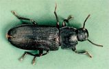 Dark Mealworm