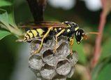 European Paper Wasp