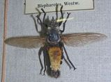 Giant Yellow Robber Fly