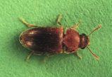 Hairy Fungus Beetle
