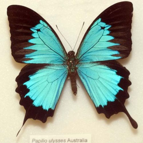 Ulysses Swallowtail | Papilio ulysses photo