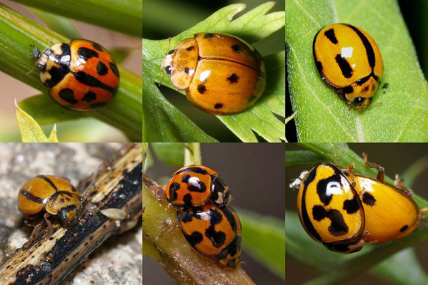 Variable Ladybird narrow striped form | Coelophora inaequalis 3 photo