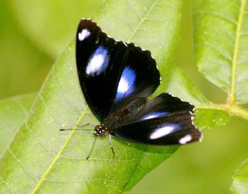 Varied Eggfly | Hypolimnas bolina photo