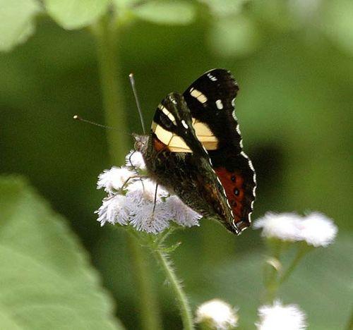 Yellow Admiral Butterfly   Vanessa itea photo