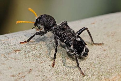 Yellow-horned Clerid | Trogodendron fasciculatum photo